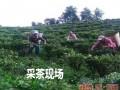 云南银溪绿茶