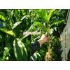 临沧哪里有草果苗销售_两年草果小苗|草果苗繁育基地|草果苗|