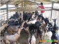 高脚羊的饲料管理与生产防疫