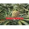 哪里的菠萝好吃&云南菠萝种植户信息@菠萝新品种
