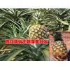 产地菠萝价格@西双版纳/元阳/河口是无眼菠萝的盛产区
