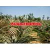 |菠萝最新品种|今年菠萝价格|云南无眼菠萝|无眼菠萝信息|