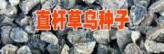 草乌2017种子价格(丽江)