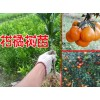 新柑橘小苗|柑橘树苗(TEL:13457726806)广西柑橘苗