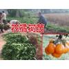 柑橘小苗多少钱一株?哪里的柑橘苗最低价