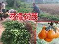 柑橘树苗(附图)