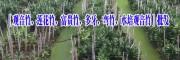 水培观音竹价格(图片)