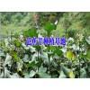 最新芭蕉芋种植户@适合云南种植的芭蕉芋种子(苗)销售