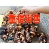 丽江永胜重楼产地/云南重楼/白芨丽江供货商| 毛桃苗[18388841889] |