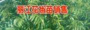 云南花椒树苗批发网(图片)