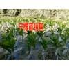 千斤桔苗哪里在销售*云南千斤桔苗在哪&比较低桔苗价是多少