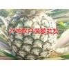 菠萝种植销售%红河哪里有菠萝销售&保山菠萝销售市场