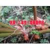草果苗图片&草果苗哪里有卖@四川草果苗13577677236