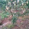 普洱附近哪里有芒果树种苗%包成活率的核桃和芒果小苗