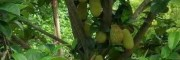 马来西亚1号菠萝蜜(图片)
