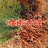 昆明哪有高产大天门冬苗-云南高产大天冬种子13888135446