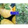 香橼苗有哪些品种@普洱景东县果苗培育