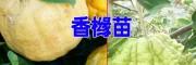 香橼新品种@香橼苗多少钱一株