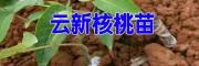 产地云新核桃苗信息(附图)&景东云新核桃苗批发