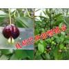 巴西甜樱桃种植@2017巴西甜樱桃树苗销售商