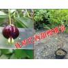 巴西甜樱桃种植@巴西甜樱桃多少钱一公斤*优质巴西甜樱桃苗