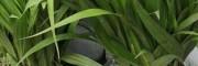 白芨种植基地/铁皮石斛