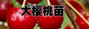 2017目前最好的大樱桃品种