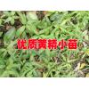 黄精种苗价格@2017黄精小苗批发供应商[:13908767686/