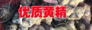 云南文山黄精图片[鸡头参,囊丝黄精(白芨黄精)]