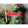 文山产地中药供应商[重楼/白芨/黄精]#优质中药材小苗厂家