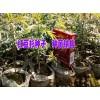 云南红豆杉苗圃-保山红豆杉苗批发价格 红豆杉苗供应