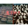 大理/楚雄魔芋种子供应商@第二代魔芋种子批发价格%