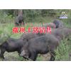 |养野香猪有哪些技术|广西/云南野香猪养殖基地|野香猪供应商