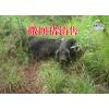 云南养殖销售版纳小耳香猪/夕阳本地土猪/野香猪厂家13888955616