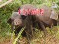 养殖基地猪肉价格/晋宁夕阳大山养殖基地
