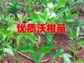 沃柑苗价格/台湾青花梨苗