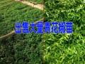 |云南青花椒苗批发|最新云南青花椒价格|18908885778