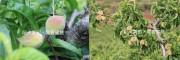 阳光果园·早香蜜桃
