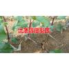梨树苗-供应信息#梨苗哪里的好供应商15125404188