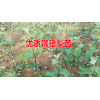 适合种植的梨树苗木哪里有销售@15125404188
