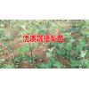 梨树苗种植技术*一亩梨苗要多少钱@梨树苗出售_15125404188