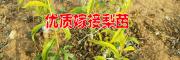 17新品种梨苗@求购梨树苗·梨苗新品种15125404188