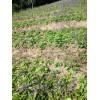 小紫丹参-小紫丹参种子、种苗供应