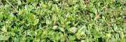 药材种子(种苗)中药材专用除草剂