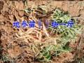 云南地参种苗供应商(地参/虫草参/银条菜)-订购13518724091