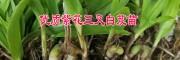白芨种苗价格 [供应]