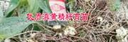 [供应] 黄精种籽@黄精种子@黄精种苗