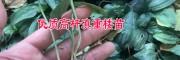 普洱滇重楼种苗市场报价&目前5元/株(2018)