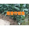 重庆观音竹批发市场分析@观音竹种植基地直销信息