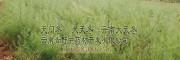 丽江家种天冬行情#天冬价格是多少钱一斤
